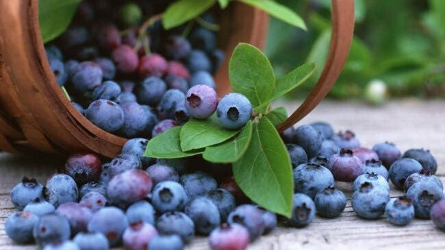 pick your own blueberries Bellarine